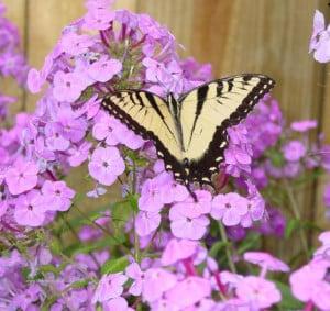 Liban con amor las mariposas las flores del jardin