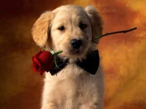 Cachorro dando una rosa