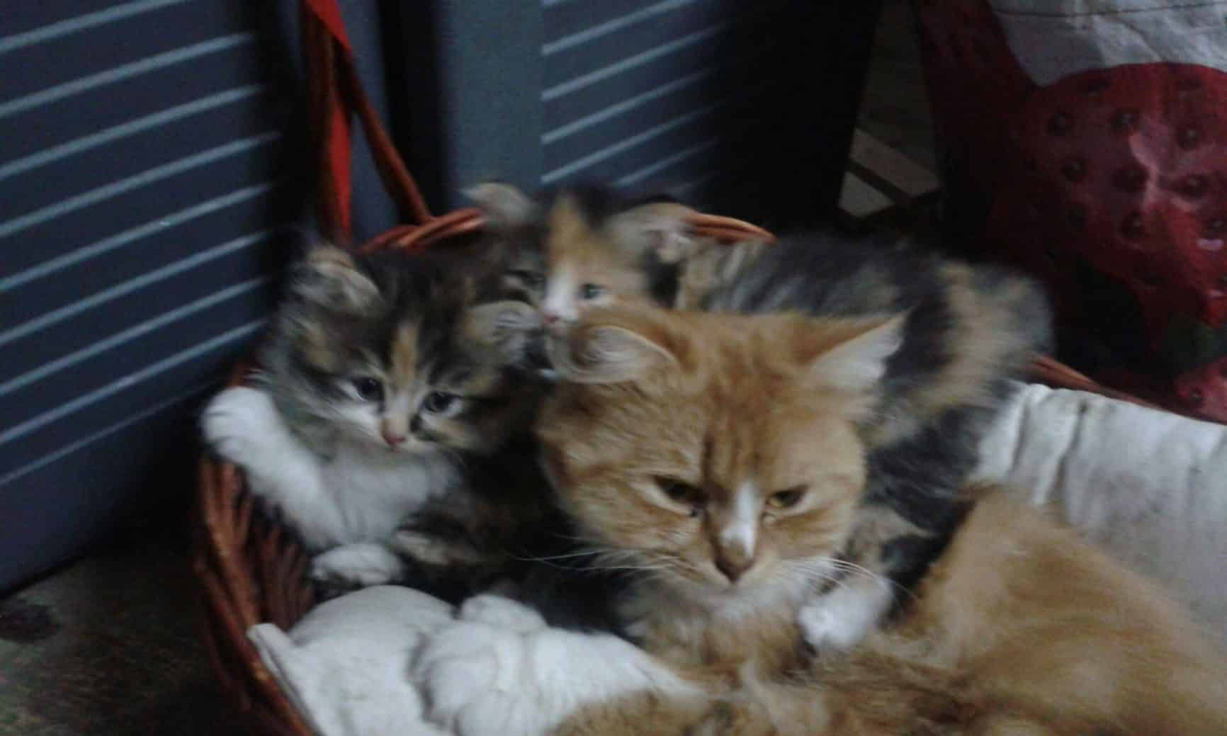Gatos Persas Mágicos nacidos en El Ashram de La Peral