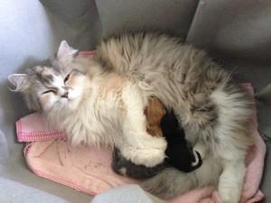 Mama gato persa