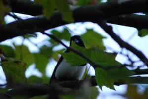 Un pájaro escondido entre hojas y ramas de un árbol.